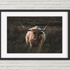 Cheeky Highland Cattle Print