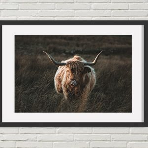 Cheeky Highland Cattle Print