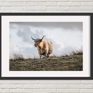 Highland Cattle Print