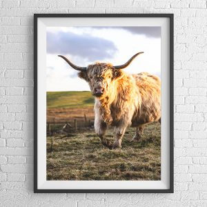 Majestic Highland Cattle Print